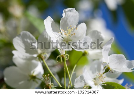 Blooming apple trees. White spring flowers. Young leaves. Macro. (soft focus). - stock photo