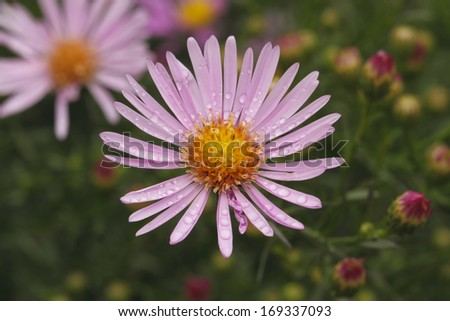 Blooming Asters with dewdrops in a Garden - stock photo