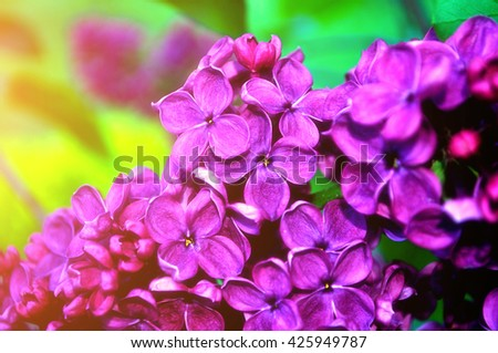 Blooming beautiful bright pink lilac flowers lit by sunlight. Selective focus at the central flowers, soft focus processing - stock photo