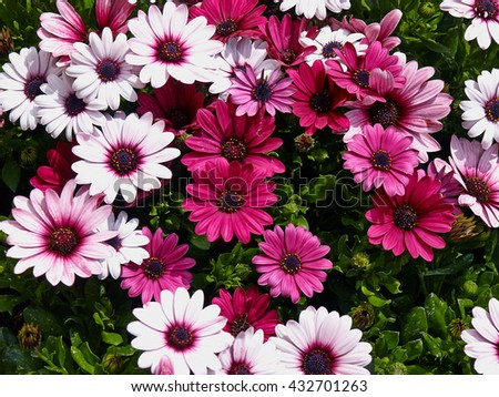 Blooming beautiful Pink and white gerbera daisy flowers in a summer garden - stock photo