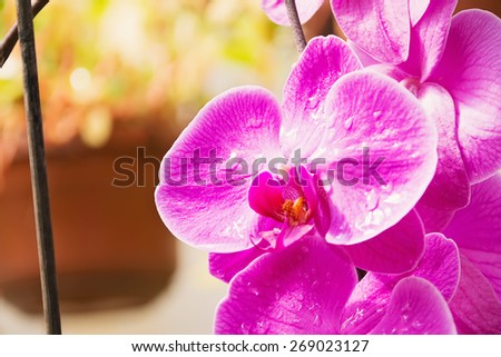 Blooming beautiful pink orchid flowers exotic plant  - stock photo