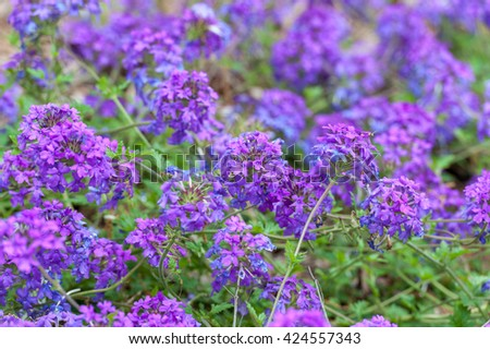 Blooming Blue Flower in the Garden. Verbena x Hybrida, Homestead Purple Verbena, Glandularia canadensis, Garden verbena - stock photo