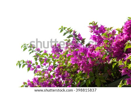 Blooming bougainvilleas isolated on white background - stock photo
