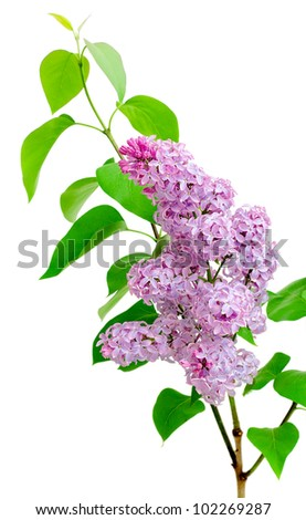 blooming branch of lilac (Syringa) on a white background - stock photo
