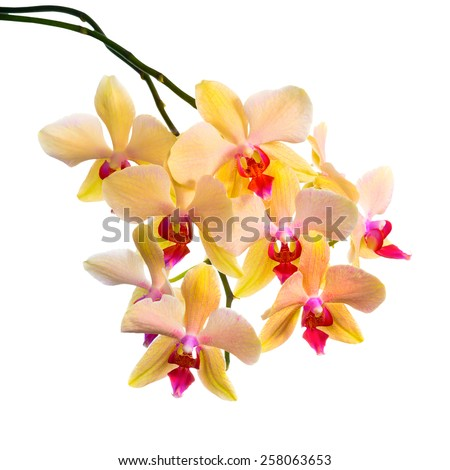 Blooming  branch of orange striped orchid, phalaenopsis is isolated on white background, closeup   - stock photo