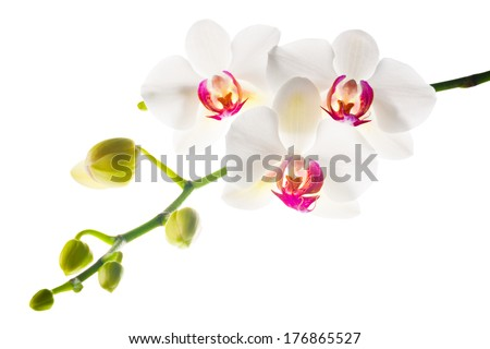 Blooming branch  white with red  orchid is isolated on a white background - stock photo