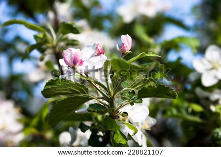 Blooming branches of the apple tree in spring - stock photo
