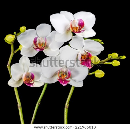 Blooming branches white and red orchid flower (phalaenopsis) with bud is  isolated on black background - stock photo