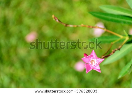 Blooming bright pink flower on a blurred background of green foliage in the garden. Shallow depth of field. Selective focus. - stock photo