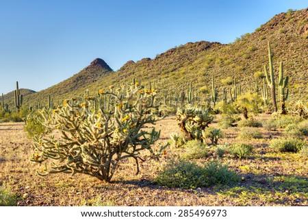 Blooming Buckhorn Cholla in Sonoran Desert. - stock photo