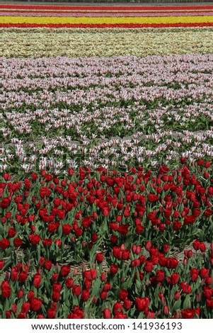 Blooming bulbs at the Keukenhof gardens in The Netherlands - stock photo