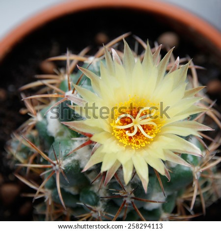 Blooming cactus Coryphantha. Yellow flower. - stock photo