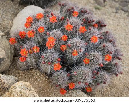 Blooming Cactus flowers spring desert in Scottsdale, Arizona,use - stock photo