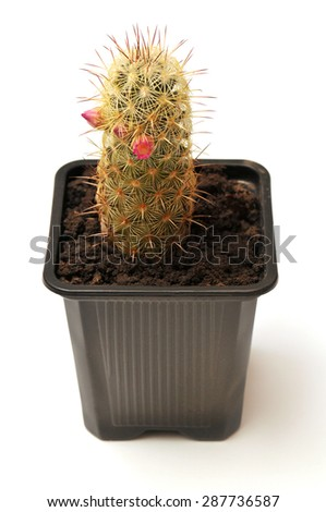 Blooming cactus in a pot isolated on white background - stock photo