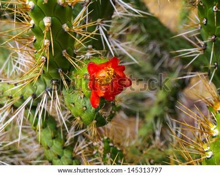Blooming cactus in Urubamba valley (Peru) - stock photo