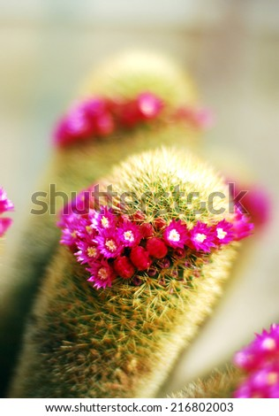 Blooming cactus with pink flowers and needles in a pot in the garden. - stock photo