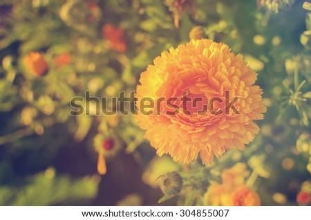 blooming calendula - stock photo