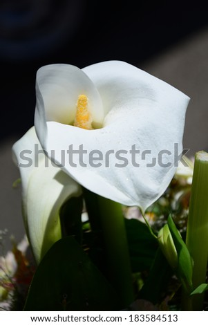 Blooming Calla lily - stock photo