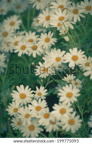 Blooming Camomile flowers at flowerbed. Vertical retro filtered shot with selective focus - stock photo