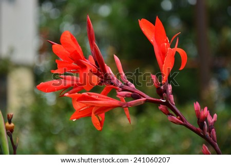 Blooming Canna (Canna lily) - stock photo