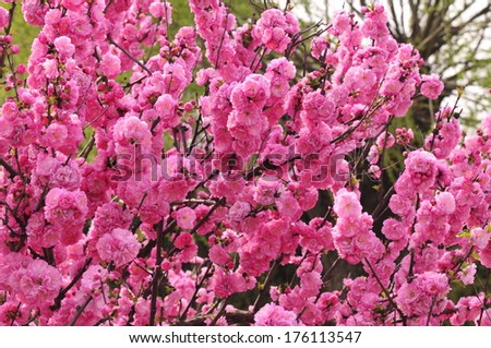 Blooming cherry blossom - stock photo