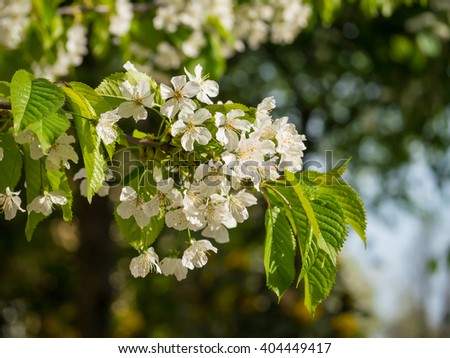 Blooming cherry branch, a lot of white flowers - nature spring background - stock photo