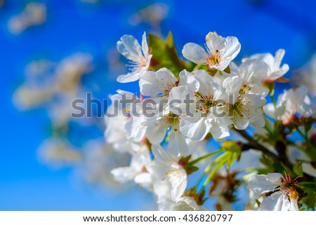 Blooming cherry tree against blue sky - stock photo