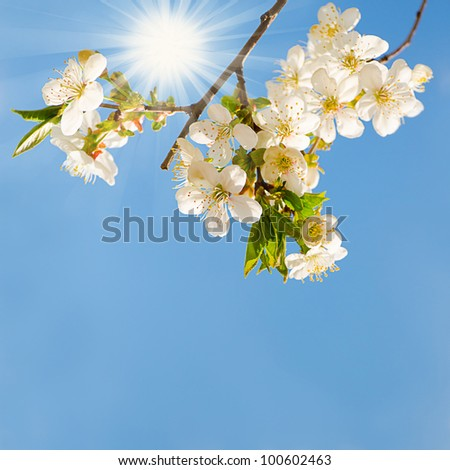 Blooming cherry tree branches with a blue sky and sun - stock photo