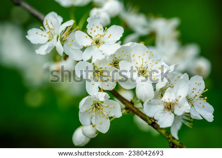 Blooming cherry tree close-up in spring time. - stock photo