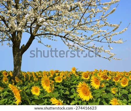Blooming cherry tree in sunflower field. Spring landscape. - stock photo