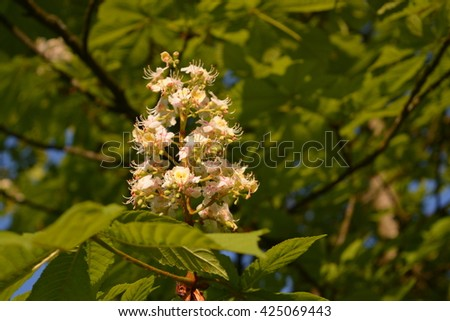 Blooming chestnut tree in the Spring. Makro close-up picture. Green leaves. Shadows. - stock photo