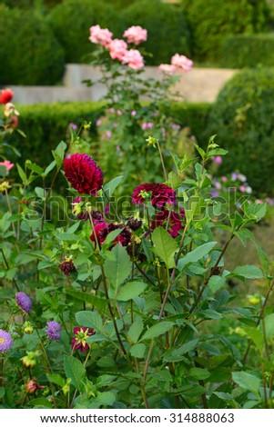 Blooming claret dahlias - stock photo