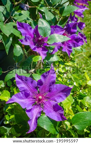 Blooming Clematis - stock photo