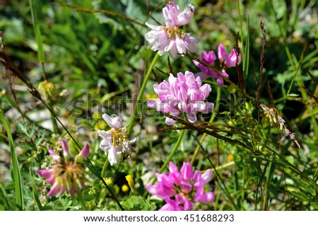 Blooming clover on alpine meadow - stock photo