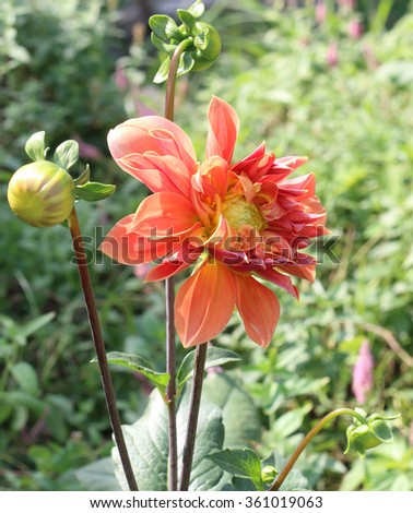 Blooming colorful dahlia bud  - stock photo