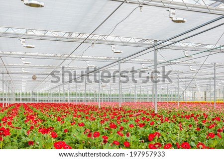 Blooming colorful gerberas in a Dutch greenhouse - stock photo