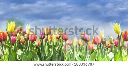 blooming colorful tulips on sky background, selective focus - stock photo