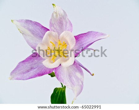 Blooming Columbine Flowers Before a Blank White Background - stock photo
