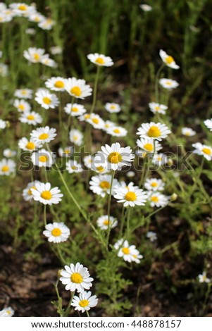 Blooming daisy meadow - stock photo