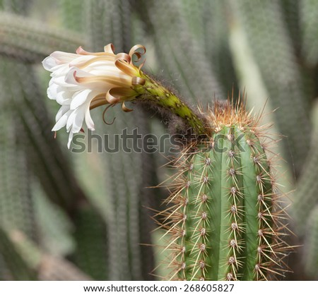 Blooming Echinopsis cactus in Jardin de Cactus on Lanzarote island, Canary islands. Park has 7.200 specimens of over 1.100 cactus species from very different places. - stock photo