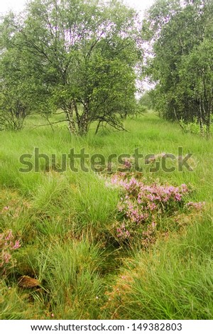 Blooming erica in the high moor of Eversmeer, East Friesland  - stock photo
