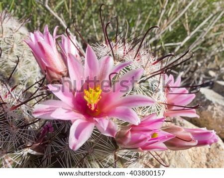 Blooming Fishhook Pincushion cactus, Mammillaria grahamii, close-up vegetation on desert floor - stock photo