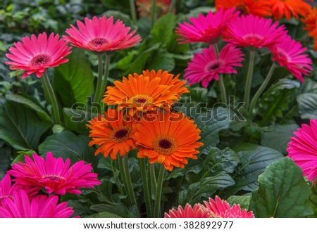 Blooming flower Gerbera jamesonii in orange. It is indigenous to South Eastern Africa known as the Barberton daisy, the Transvaal daisy, and as Barbertonse madeliefie - stock photo