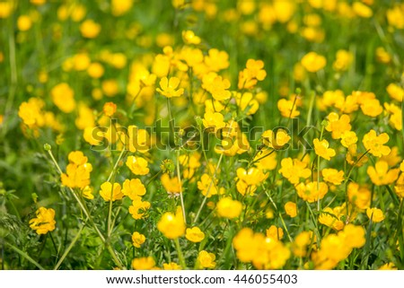 blooming flower in spring, buttercup, crowfoot, ranunculus. - stock photo