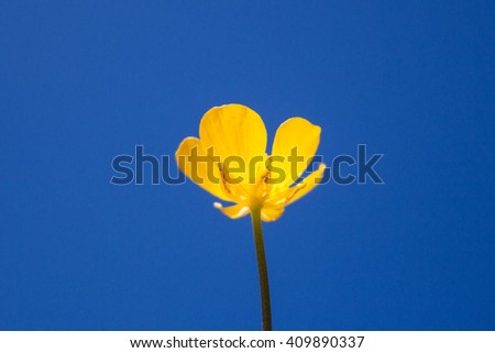 blooming flower in spring, buttercup on the blue sky - stock photo