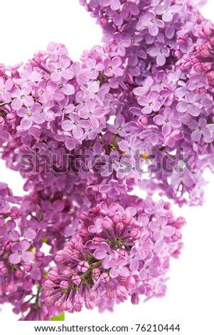 Blooming flower of purple lilac,isolated - stock photo