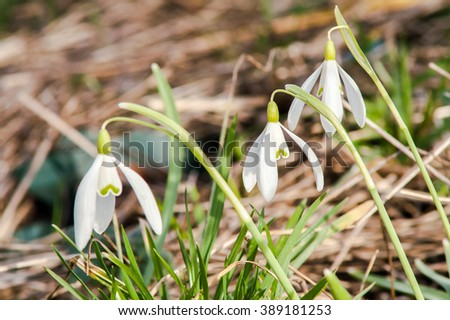 blooming flower primrose, snowdrop white sunny spring day - stock photo