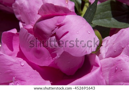 blooming flowers,pink peony,flora,summer,garden,flower petals,objects,green leaves,pink background,nature,outdoor, - stock photo