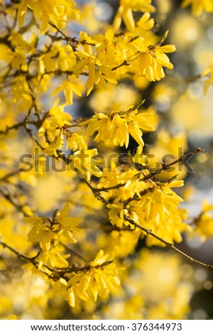 Blooming Forsythia, Spring background with yellow flowers tree branches - stock photo