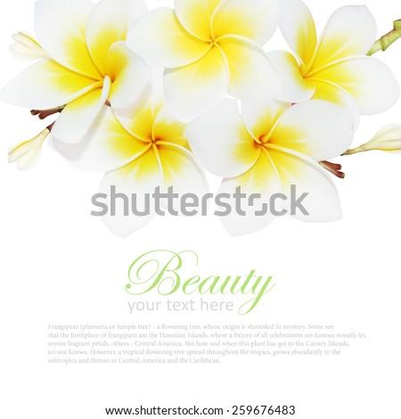 blooming frangipani Isolated on white background - stock photo
